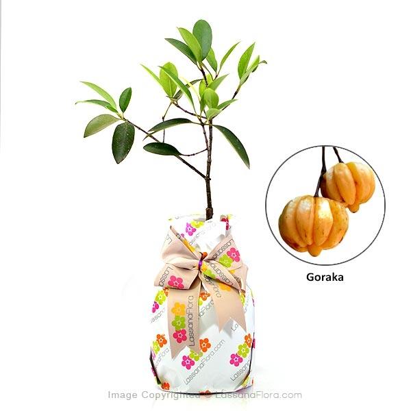 Goraka Plant - Fruit Plants - in Sri Lanka