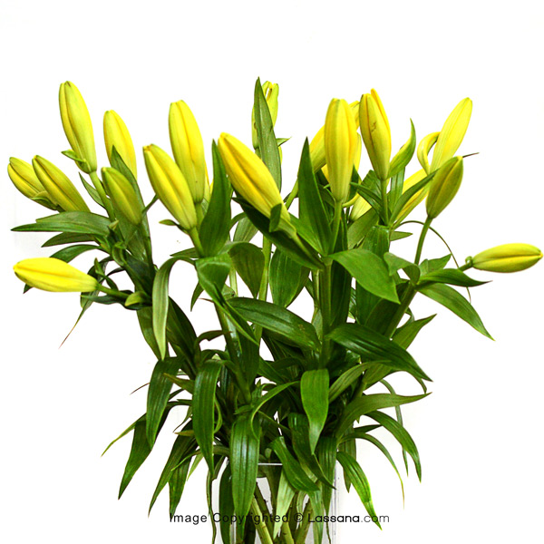 BUNCH OF YELLOW LILIES (5 STEMS) - Lovely Lilies - in Sri Lanka