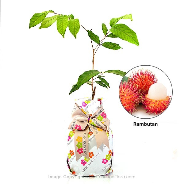 Rambutan Plant - Fruit Plants - in Sri Lanka