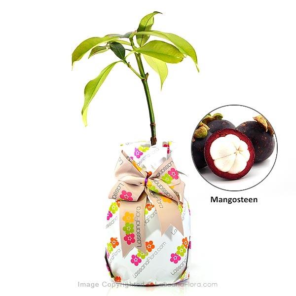 Mangosteen Plant - Fruit Plants - in Sri Lanka