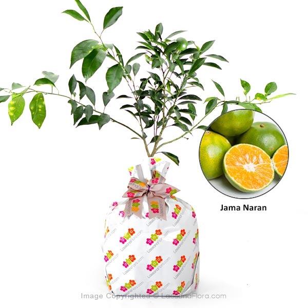 JAMA NARAN - Fruit Plants - in Sri Lanka