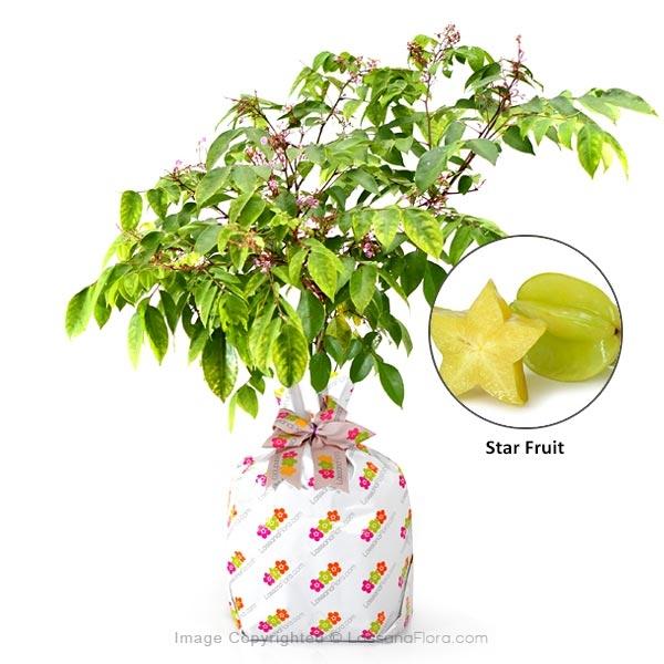 Star Fruit Plant - Fruit Plants - in Sri Lanka