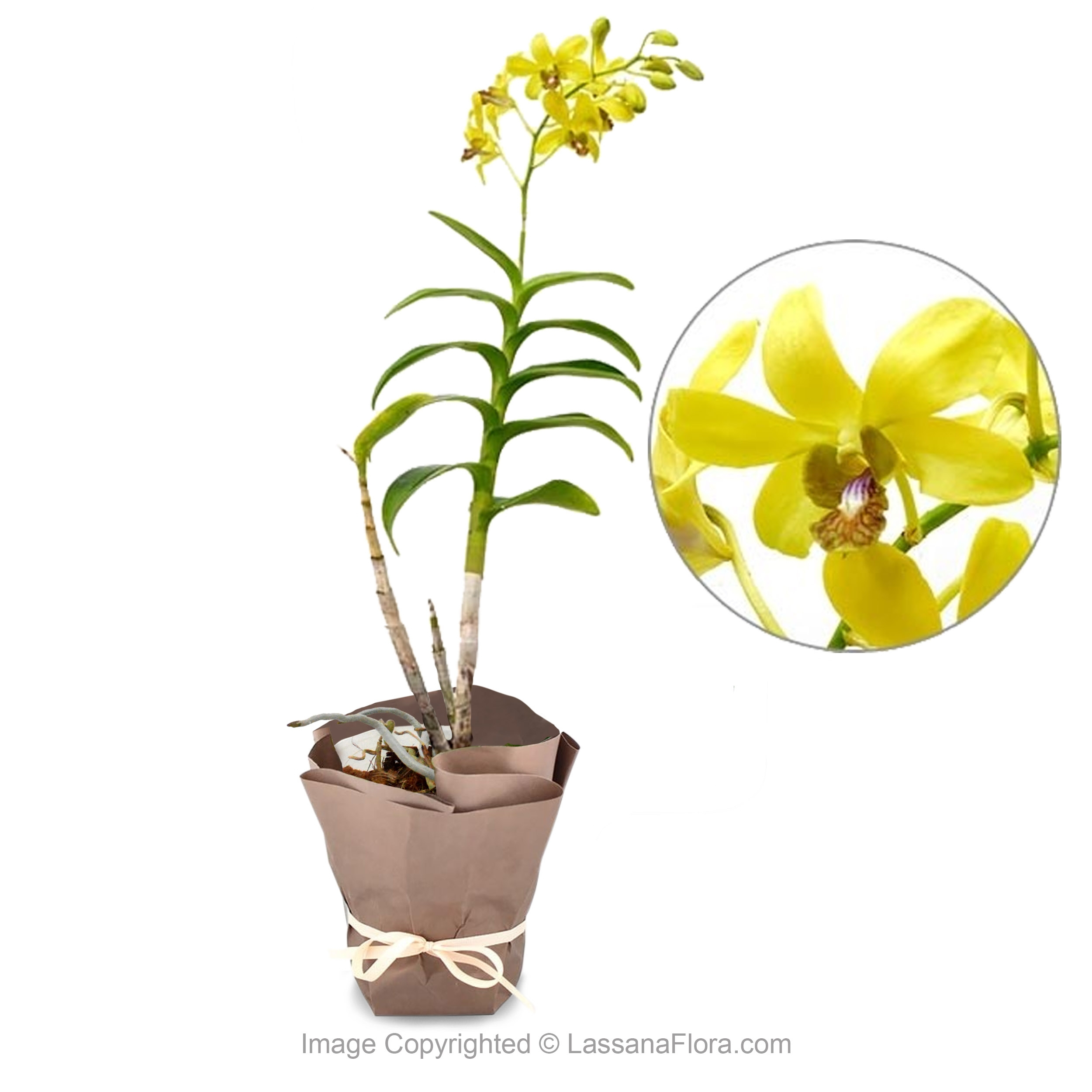 Orchid Potted Plant - Yellow - Flower Plant - in Sri Lanka