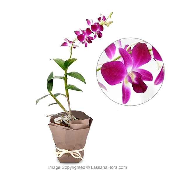 Orchid Potted Plant - Light Purple with White Mix - Flower Plant - in Sri Lanka