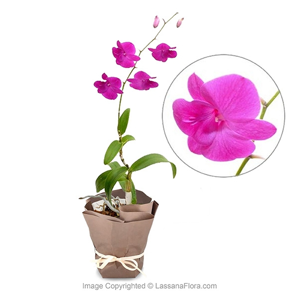 Orchid Potted Plant - Purple Queen - Flower Plant - in Sri Lanka