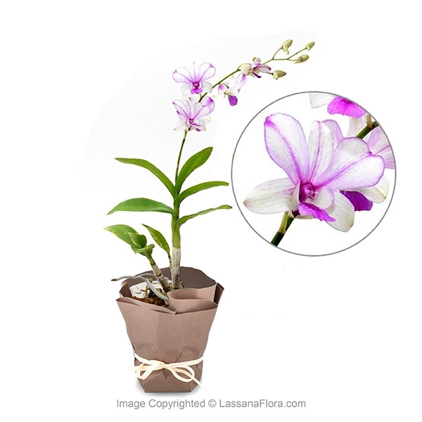 Orchid Potted Plant - White Purple Mix - Flower Plant - in Sri Lanka