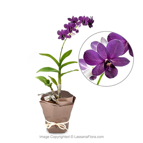 Orchid Potted Plant - Purple - Flower Plant - in Sri Lanka