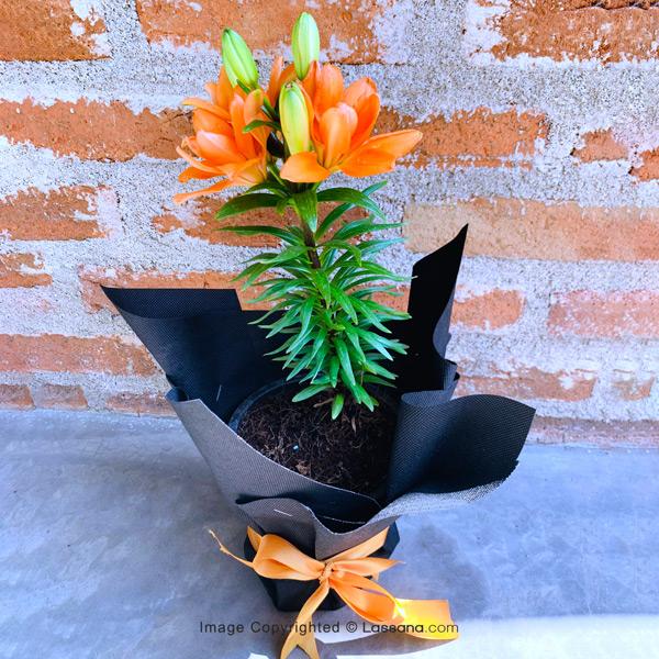 Orange Asiatic Lily Pot - Flowering Plants - in Sri Lanka