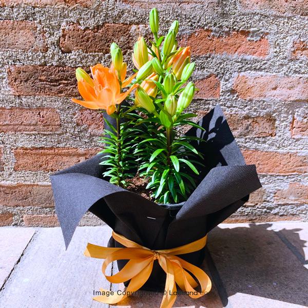 Deluxe Orange Asiatic Lily Plant-3 stems - Flowering Plants - in Sri Lanka