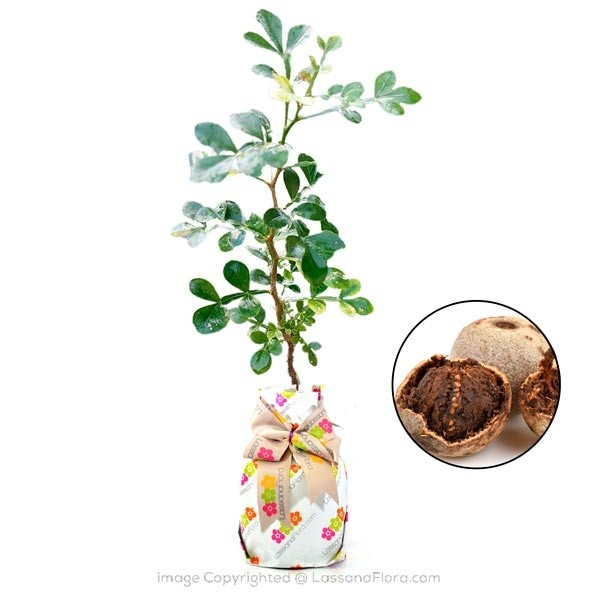 Wood Apple Plant - Fruit Plants - in Sri Lanka