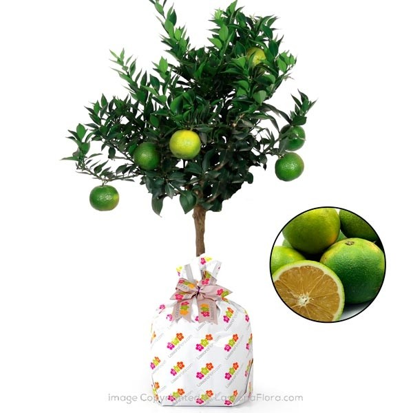 Sour Orange Plant - Fruit Plants - in Sri Lanka